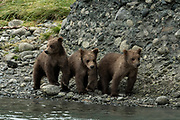 Brown bear cubs explore the rocky riverbank at the McNeil River State Game Sanctuary on the Kenai Peninsula, Alaska. The remote site is accessed only with a special permit and is the world's largest seasonal population of brown bears in their natural environment.