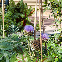 Globe Artichoke (Cynara cardunculus) in flower, growing in a mixed edible and ornamental landscape in an urban front yard garden.