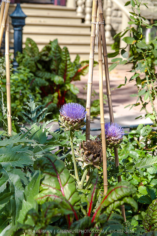 Globe Artichoke (Cynara cardunculus) in flower, growing in a mixed edible and ornamental landscape in an urban front yard garden.