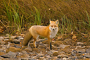A red fox (Vulpes vulpes) walks along a dried creek bed near Swiftcurrent Creek in Glacier National Park, Montana.