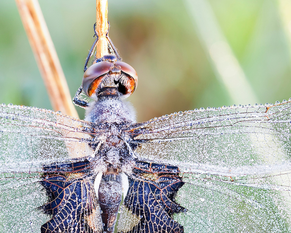 Sitting so still on a cool September morning, I could not resist the stunning beauty of this dragonfly covered in hundreds of tiny dew drops. Usually dragonflies are on the move, but at sunrise on a cool fall day, they are pretty immobile. Black Saddlebags Dragonfly (Tramea lacerata)