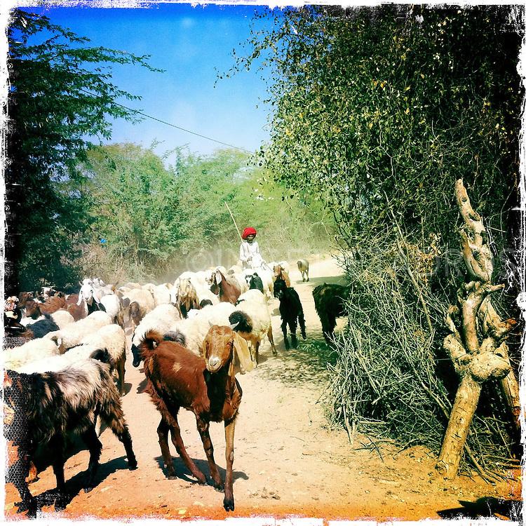 Rabari and his animals