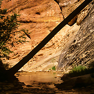 Sunlight on sculpted sandstone reflects in the water of the North Fork of the Virgin River and creates a strong silhouette of a leaning tree trunk. © 1990 David A. Ponton