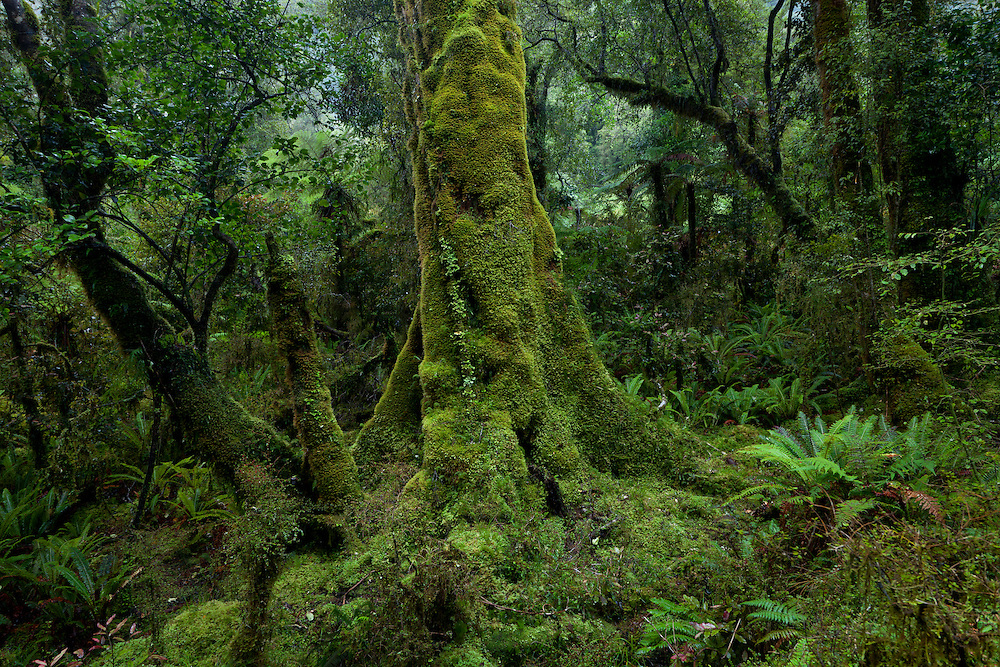 Moss covered beech tree trunk in beech forest, Haast range.