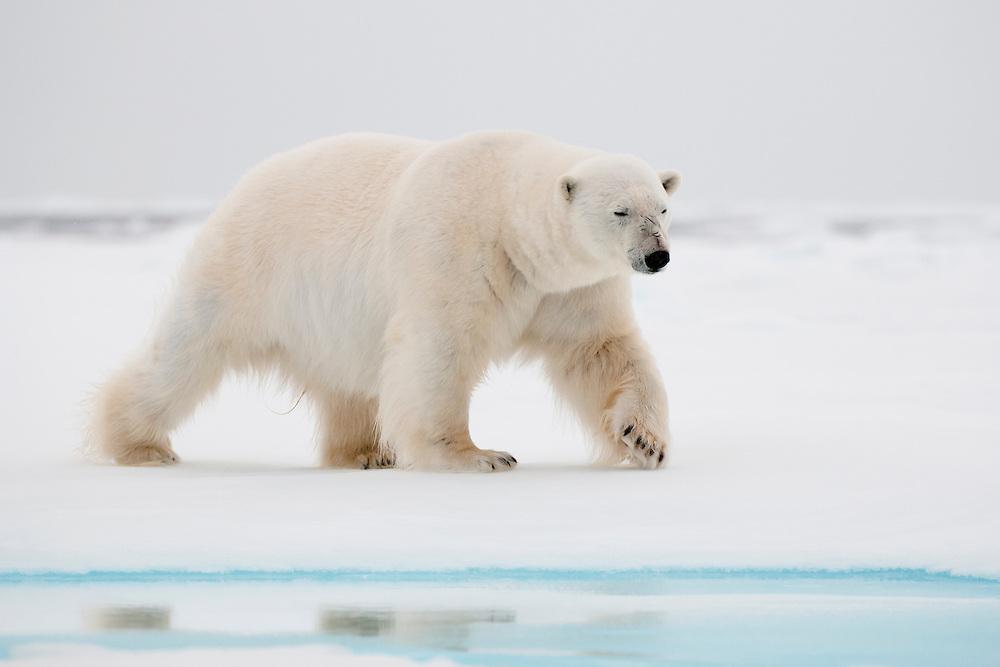 Polar bear (Ursus maritimus) walking on sea ice