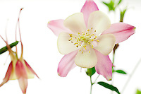 The sex organs of the Columbine flower.