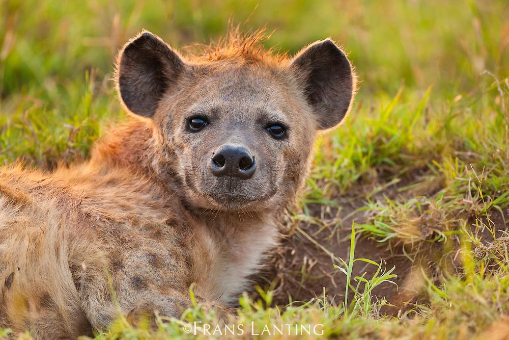 Spotted hyena, Crocuta crocuta, Masai Mara National Reserve, Kenya