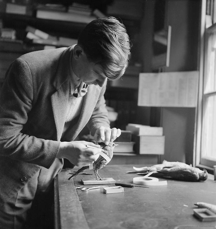 Naturalist Mounting a Stuffed Bird, London, c.1939