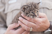 Caprock Canyons Park Superintendent Donald Beard holds an orphan bobcat kitten found by a resident of Quitaque. Beard arranged for wildlife rescue to take care of the kitten.