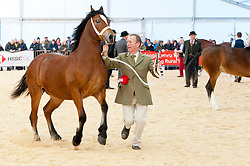 © Licensed to London News Pictures. 26/11/2019. Llanelwedd, Powys, Wales, UK. Yearling filly - Spyvalley Ellora. takes first place in Champion Welsh Cobs, section D event & First place in the Welsh Championships event.. (more details at RWAS press office. catalogue number 1147) Horse events take place on the second day of the Royal Welsh Winter Fair in Powys,  UK. Photo credit: Graham M. Lawrence/LNP