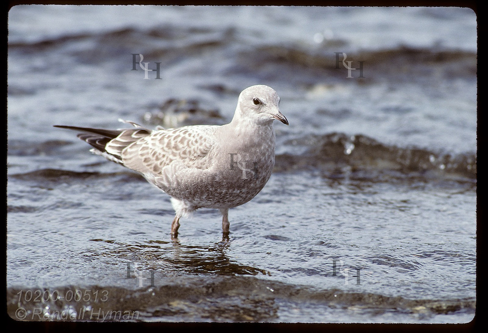 Immature mew gull (Larus canus) stands in shallows of Wonder Lake shore in August; Denali National Park. Alaska