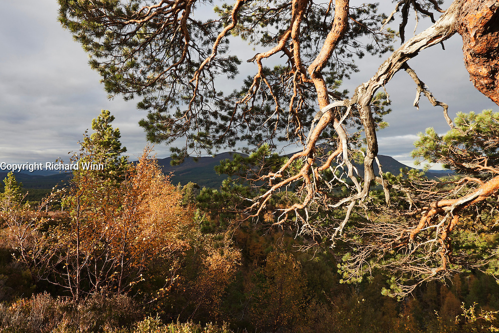 Caledonian pine branches lit by the late afternoon sun, surrounded by the autumn colours.