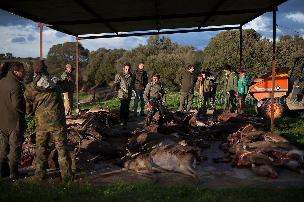 People watches a butcher preparing dead deers after a hunting session, in Carbajo on January 19 2013, in Caceres Province, Extremadura, Spain. .Caceres has a well preserved natural environment. Plenty of its surface is dedicated to deers and wild boars hunting, making this, an important part of its economy. But most of the land belongs to large landowners. .In Carbajo, people gather three times a year to hunt deers and wild boars. In the past, they used to hunt for eating, but now days, they practice it as an sport and a social event. Then, they sell what the catch as wild game meat.