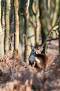 Roe Deer (Capreolus capreolus) doe standing in bracken field tending her fur