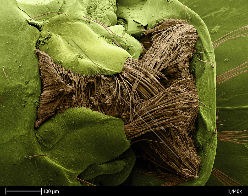 Scanning electron microscope image of the mouth parts of a mosquito larva (family Culicidae).  The collection of hairs (light brown) are feeding structures used to filter water. The hairs beat through the water filtering out algae, bacteria and other micro-organisms that the larva feeds on.The calibration bar is 100 um and was take at a magnification of 1,440 x. ..