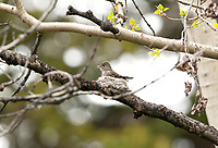 An adult Western Wood Pewee at work on its nest.