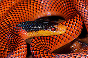 Yellow-nosed calico snake or False Coral Snake (Oxyrhopus formosus)<br /> Yasuni National Park, Amazon Rainforest<br /> ECUADOR. South America<br /> HABITAT & RANGE: Tropical forests of Colombia, Venezuela, Ecuador, Peru, Guyana, Surinam, French Guiana, Brazil, Argentina & Bolivia