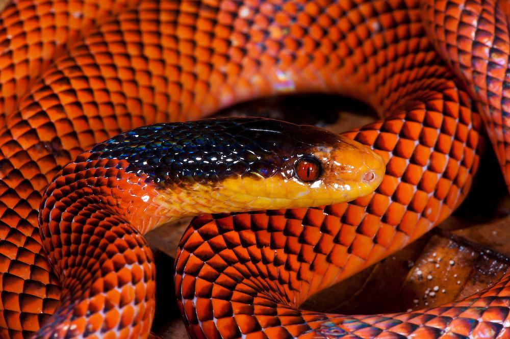Yellow-nosed calico snake or False Coral Snake (Oxyrhopus formosus)<br /> Yasuni National Park, Amazon Rainforest<br /> ECUADOR. South America<br /> HABITAT &amp; RANGE: Tropical forests of Colombia, Venezuela, Ecuador, Peru, Guyana, Surinam, French Guiana, Brazil, Argentina &amp; Bolivia