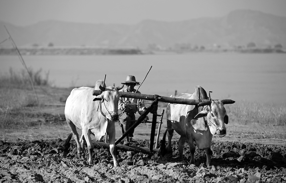 A farmer ploughing the soil with his buffalo at Bagan, Myanmar.