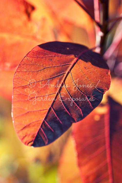 Cotinus coggygria 'Grace' (Smokebush)