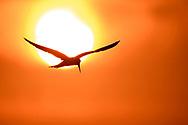 Grossschnabel-Seeschwalbe (Phaetusa simplex) im s&uuml;dlichen Pantanal an der Estrada Parque, Brasilien<br /> <br /> Large-billed tern in the southern part of the Pantanal along the Estrada Parque, Brazil