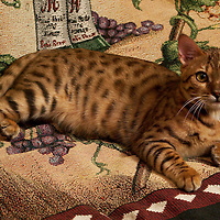 (PSTORE) Matawan 3/5/2004  Pluto the tiger cat for pet contest.  Photo by Michael J. Treola Staff Photographer.....MJT