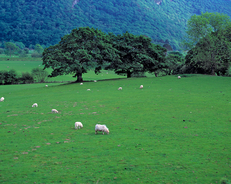 Sheep graze peacefully in the Dovey Valley in Snowdonia N.P.,  Wales.