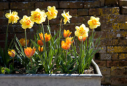 Narcissus 'Tahiti' with Tulipa 'Princess Irene' syn T. 'Princes Irene' in metal trough