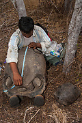 Taking Biometric Data on Galapagos Giant Tortoise  (Geochelone elephantophus)<br /> Wolf Volcano, Isabela Island, GALAPAGOS ISLANDS<br /> ECUADOR.  South America<br /> In December 2008 a team of Galapagos National Park Guards, Scientiests and Vets spent 2 weeks on the volcano capturing 1663 Giant Tortoises to take blood samples and biometric data. The blood was sent to the USA for DNA analysis. Object to look for Pinta female for Lonesome George.  Distinct saddleback forms like Lonesome George found. Also Floreana genes were previously found. There seems to be a mixed gene pool possible from tortoises swimming ashore from ship wrecks etc.