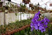 Venda Nova do Imigrante_ES, Brasil...Detalhe da orquidea azul em Venda Nova do Imigrante...Detail of a blue orchid in Venda Nova do Imigrante...Foto: LEO DRUMOND / NITRO