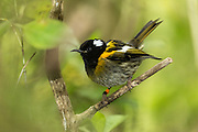 Stitchbirds were first released on Tiri in 1995 and have successfully bred.  The population on Tiritiri Matangi Island is now over 100 birds, with a total population of around 4500.
