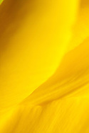 Yellow flower petal abstract