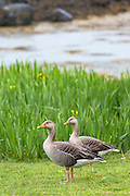 Pair of Greylag geese, Anser anser, - Greylags - on Isle of Mull in the Inner Hebrides and Western Isles, West Coast of Scotland