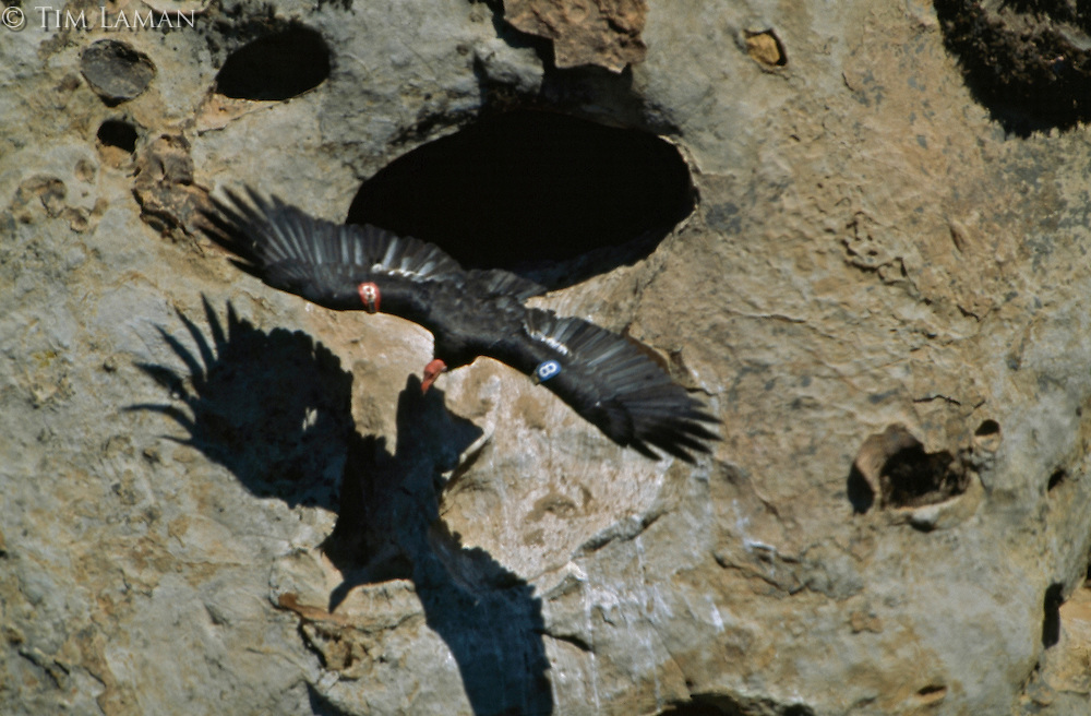 A California condor in flight casts a shadow as it leaves its nest cave.  This is a captive raised bird now breeding in the wild.