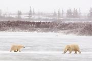 CANADA, Churchill (Hudson Bay).Polar bear (Ursus maritimus) sow with cub