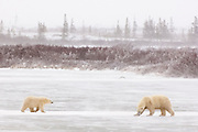 CANADA, Churchill (Hudson Bay).Polar bear (Ursus maritimus) sow with cub