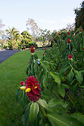 Red ginger flower, Hawaii