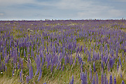 Velvet lupine (Lupinus leucophyllus) growing in prairie habitat near Condon, Oregon.