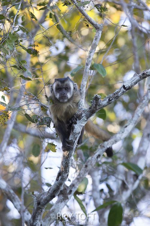 Brown Capuchin Monkey (Cebus apella), Pantanal, Brazil
