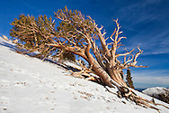 An ancient bristlecone pine grows directly up the slope of the mountainside, White Mountains, CA