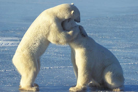 Polar Bear, (Ursus maritimus) Playing. Churchill, Manitoba. Canada.