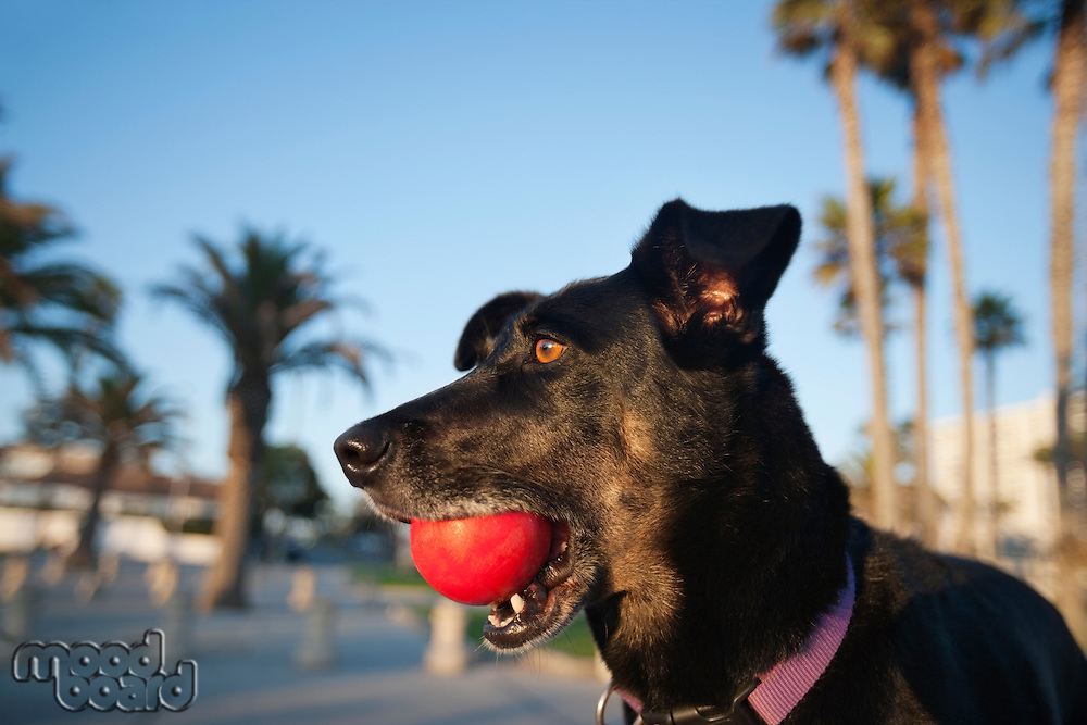 Close-up of Mutt dog with ball in mouth