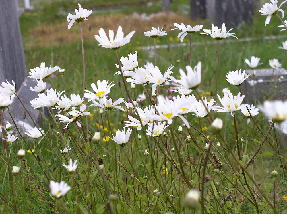Daisies growing in a field