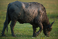 The domestic Water Buffalo (Bubalus bubalis) in Hortobagy National Park, Hungary