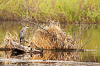 A Great Blue Heron rests on a log along a flooded stream in northern Utah.