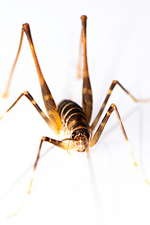 Cave Weta (Cricket) from our land near Ngunguru