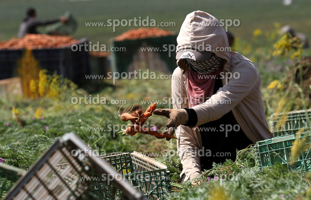 30.04.2015, Tammun, PSE, Karotten Ernte im Nahen Osten, im Bild Arbeiter und Bauern bei der Karotten Ernte auf einem Feld // Palestinian farmers harvest a carrot crop, in Tammun village, near the West Bank town of Tubas. The war between Israel and Gaza in the summer of 2014 drove the Palestinian economy of Gaza and the West Bank into its first contraction since 2006, the International Monetary Fund said in January 2015. The turmoil has left unemployment very high in both areas, 19 percent in the West Bank and 41 percent in Gaza. Photo by Nedal Eshtayah, Palestine on 2015/04/30. EXPA Pictures &copy; 2015, PhotoCredit: EXPA/ APAimages/ Nedal Eshtayah<br /> <br /> *****ATTENTION - for AUT, GER, SUI, ITA, POL, CRO, SRB only*****