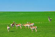 Herd or band of pronghorn (Antilocapra americana) in field (world's second fastest animal)<br />Liebenthal<br />Saskatchewan<br />Canada