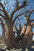 Chapman's Baobab (Adansonia digitata)<br /> near Gweta Village<br /> Makgadikgadi Pans, Kalahari Desert<br /> Northeast BOTSWANA<br /> Over 1000 years old one of the oldest in Africa