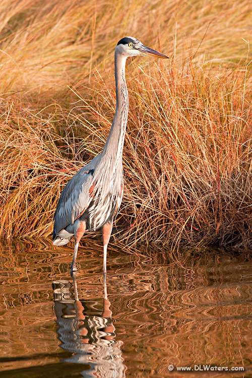 Great Blue Heron wading a canal in late fall.